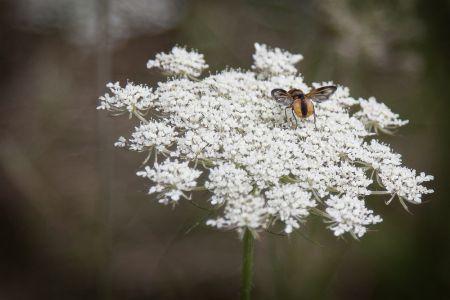 Henri Limousin - Fleur Blanche-insecte -1