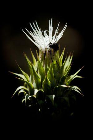 Henri Limousin - Fleur Blanche-insecte -3