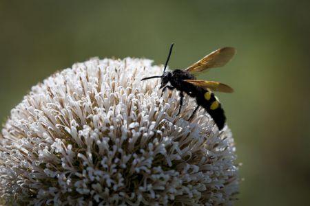 Henri Limousin - Fleur Blanche-insecte -4