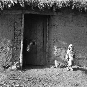Jean-Max Amoyel, l'enfant et la vache