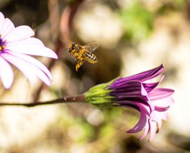 Jean-Paul Orlandini, abeille et fleurs