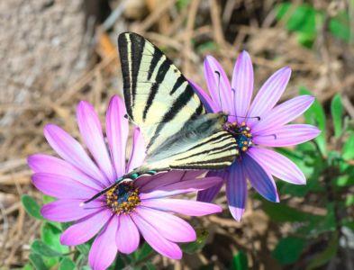 Jean-Paul Orlandini, papillon du jardin