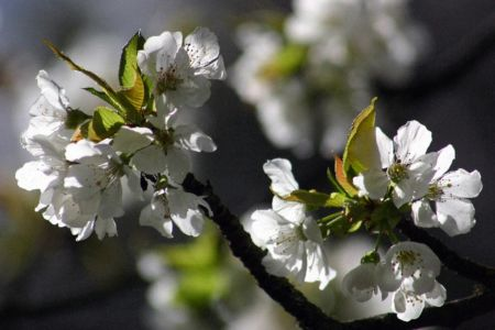 Michèle Brignone, cerisier du cabanon