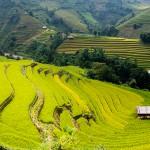 Rizière, Nord Vietnam