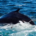 Whale at Cape Cod [MA]
