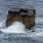 Handa Island : Seabirds