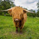 Boeuf Highland (Ecosse)